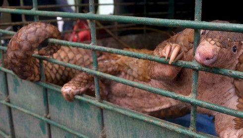 Pandemie e animali selvatici